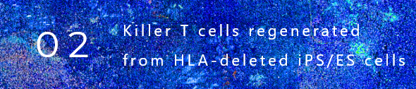 (2) Killer T cells regenerated from HLA-deleted iPS/ES cells